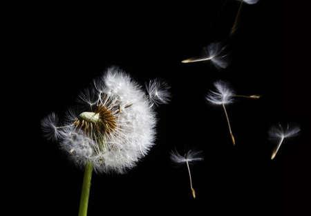 silhouette of dandelion in the wind on black background Standard-Bild