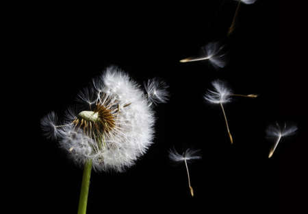 silhouette of dandelion in the wind on black background Stock Photo