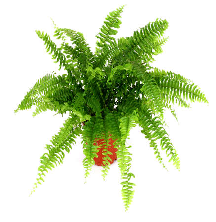 plant pot: Fern in a pot isolated on white