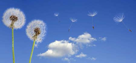 Dandelion seeds flying in the blue sky