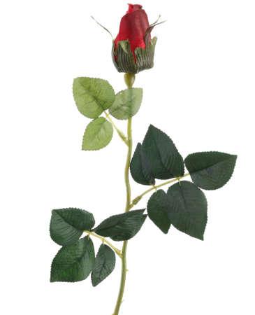 spuria: Rose rosse unico chiaro su sfondo bianco
