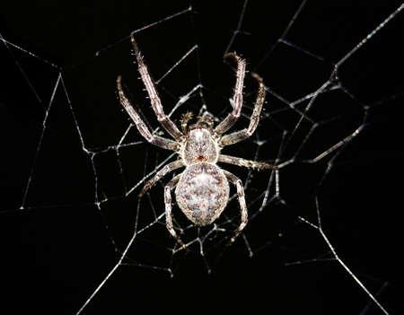 segmentata: Cross spider in its web on black