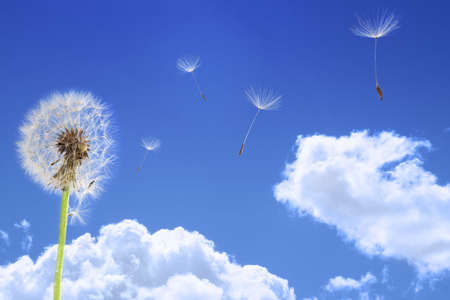 Dandelion seeds flying in the blue sky photo