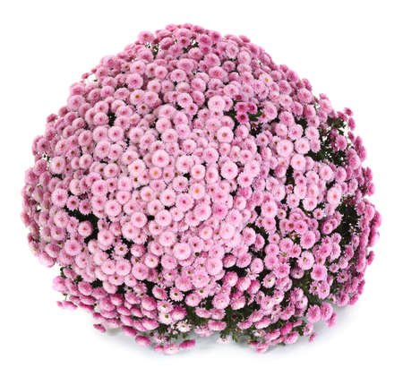 A pot of beautiful pink autumn chrysanthemums isolated on white background