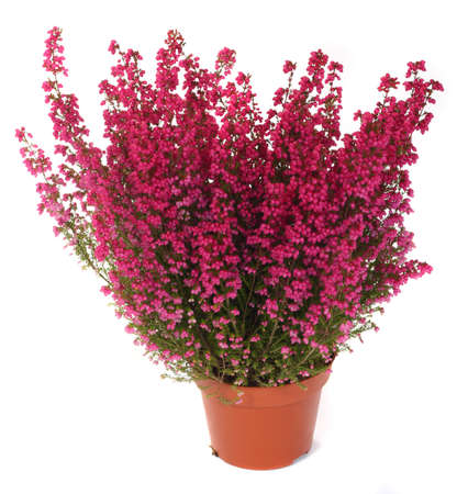pot of heather in vase isolated on white Stock Photo - 8606362