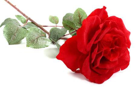spuria: Unica rosa rossa su sfondo bianco chiaro  Archivio Fotografico