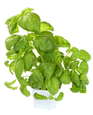 Fresh green basil plant isolated over white Stock Photo - 8606353