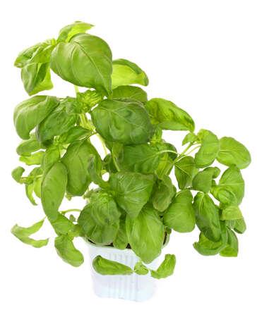 Fresh green basil plant isolated over white  photo