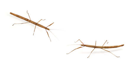 stick bug, insect, Phasmatodea - Oreophoetes peruana isolated on white backgroung  Stock Photo - 8606344