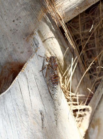 A European cicada showing its near perfect camouflage