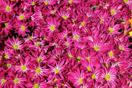 Chrysanthemum flower in the garden background close up