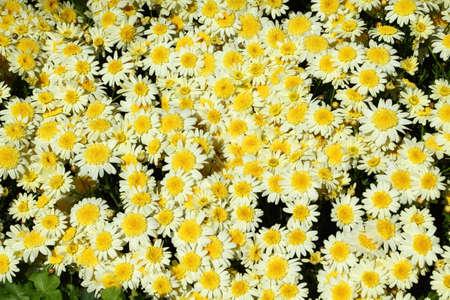 Yellow flower in the garden background close up Standard-Bild