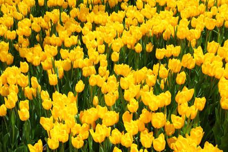 beautiful yellow tulip field in spring - close up Standard-Bild