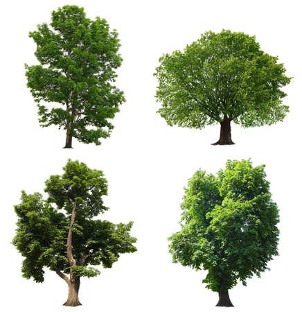 arboles frondosos: Los árboles con hojas verdes aisladas sobre fondo blanco
