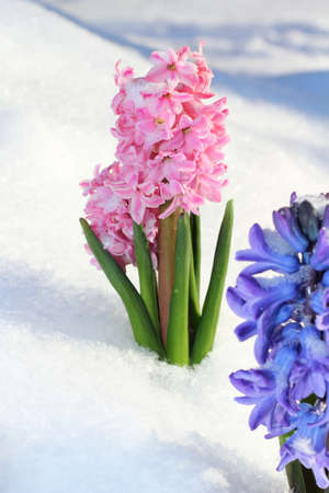 Colorful bouquet from hyacinth under the snow