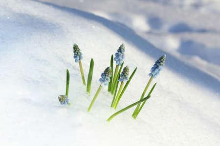 Blue Muscari flowers under the snow