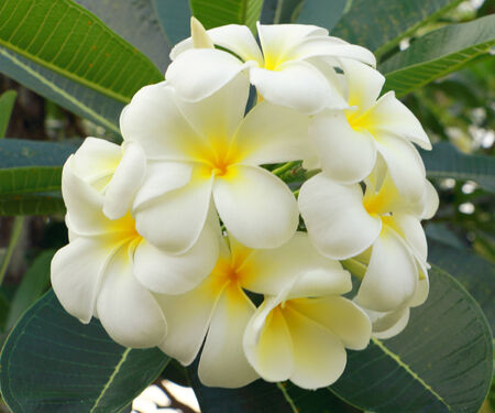 generalization: Generalization  Leelawadee trees The size of a dwarf shrub about 0 6 meters     In the Leelawadee flower colors including white, red, yellow, pink, orange, purple, gold