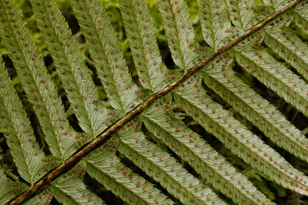spores: Sori, where spores are formed, on the underside of Western Sword Fern (Polystichum munitum) found in the understory of old-growth forests in the Pacific Northwest