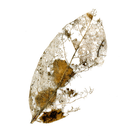 Fungus decomposing a leaf. Shows vein structure. Stock Photo
