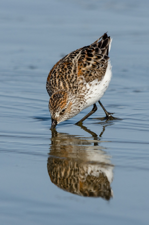 migrations: Western Sandpiper (Calidris mauri) feeding. Washington Coast. USA.