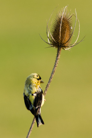 immature: Immature American GoldFinch (Spinus tristis) on Teasle (Dipsacus fullonum). Stock Photo