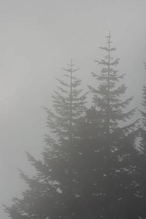 고삐 전나무 (Abies procera) 나무. Marys 피크 국립 레크레이션 지역, 오레곤. 스톡 콘텐츠