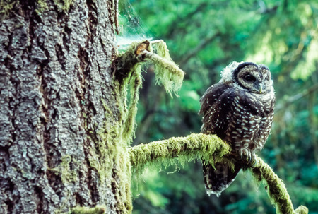 Northern Spotted Owl (Strix occidentallis) sits in on a Douglas Fir branch  in Oregon.
