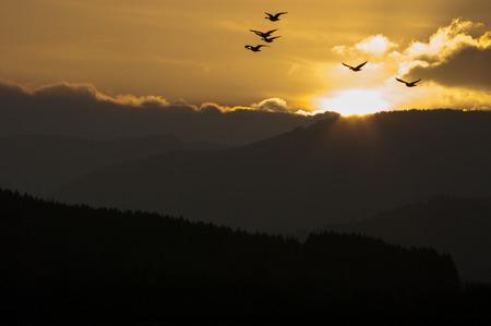 willamette: Twilight Flight - Geese at sunset. Willamette Valley, Oregon.