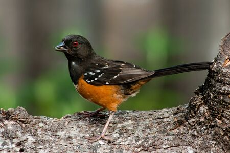 spotted: Spotted Towhee (Pipilo maculatus). Willamette Valley, Oregon. Stock Photo