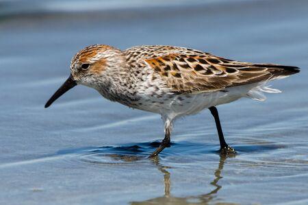 charadriiformes: Western Sandpipers (Calidris mauri) hunting for food in the sand. Washington Coast. USA. Stock Photo