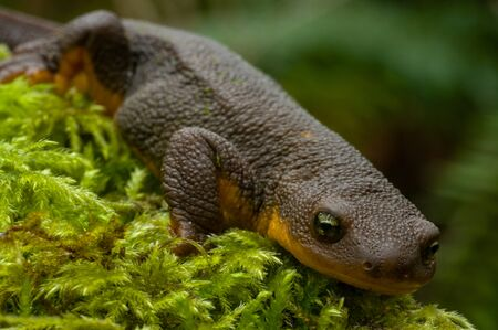 newt: Rough-skin Newt (Taricha granulosa) Stock Photo