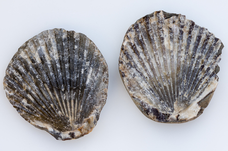bivalve: Fossilized clam shell found on the Oregon Coast. USA.