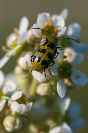nature conservancy: Spotted Cucumber Beetle(Diabrotica undecimpunctata) on Oregon Saxifrage (Saxifraga oregana).