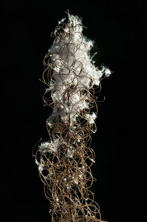 angustifolium: Fireweed (Epilobium angustifolium) seeds.