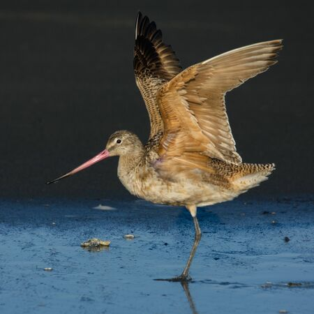 Marbled Godwit (Limosa fedoa) stretching wings. Washington Coast. USA.
