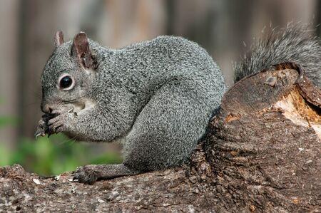 willamette: Western Grey Squirrel (Sciurus griseus). Willamette Valley, Oregon.