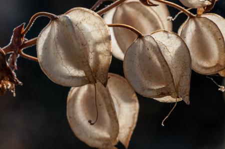 invasive species: Seeds of  Common Large Monkeyflower (Mimulus guttatus). Willamette Valley, Oregon. Stock Photo