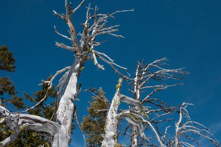 A dead White Bark Pine (Pinus albicaulis). Фото со стока
