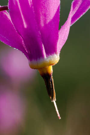 nature conservancy: Shooting Star (Dodecatheon sp.)