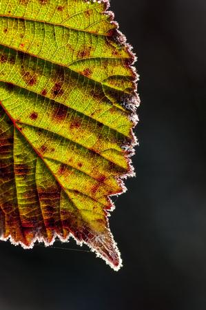 Frost on Blackberry Leaf in the Willamette Valley, Oregon.