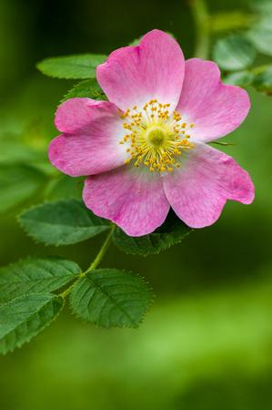 Wild Rose - Rosa sp. Stock Photo