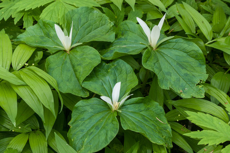 trillium: Giant White Wakerobin - Trillium albidum Stock Photo