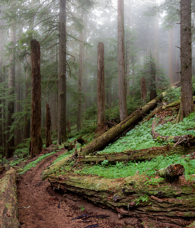 marys: Old-growth forest in Pacific Northwest. Marys Peak National Recreation Area, North Ridge Trail, Oregon.