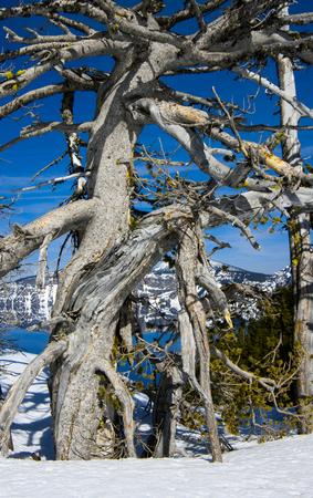 Dead White Bark Pine (Pinus albicaulis). Crater Lake National Park, Oregon