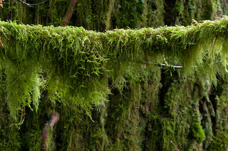 Moss hangs from  a tree branch in the understory of forest in the Pacific Northwest. Moss can be used to detect heavy metals such as Cadmium and Arsenic.
