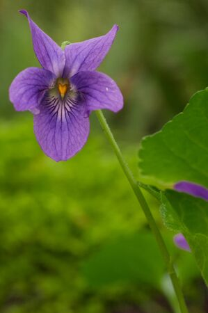 invasive species: Known as Sweet Violet, English Violet, Common Violet, or Garden Violet (Viola odorata) is not native to Oregon but was introduced from Europe and Asia.