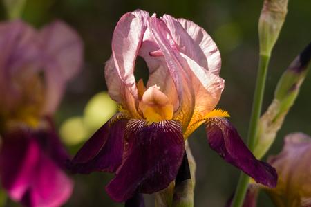 willamette: Purple Iris. Willamette Valley, Oregon.