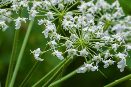 maximum: Cow Parsnip (Heracleum maximum).