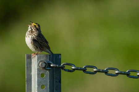 Savanah Sparrow (Passerculus sandwichensis) zingen. Stockfoto - 57813899