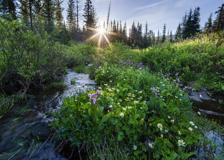 oregon cascades: Sunshine lights the tops of wildflowers in the Oregon Cascades near Blair Lake.